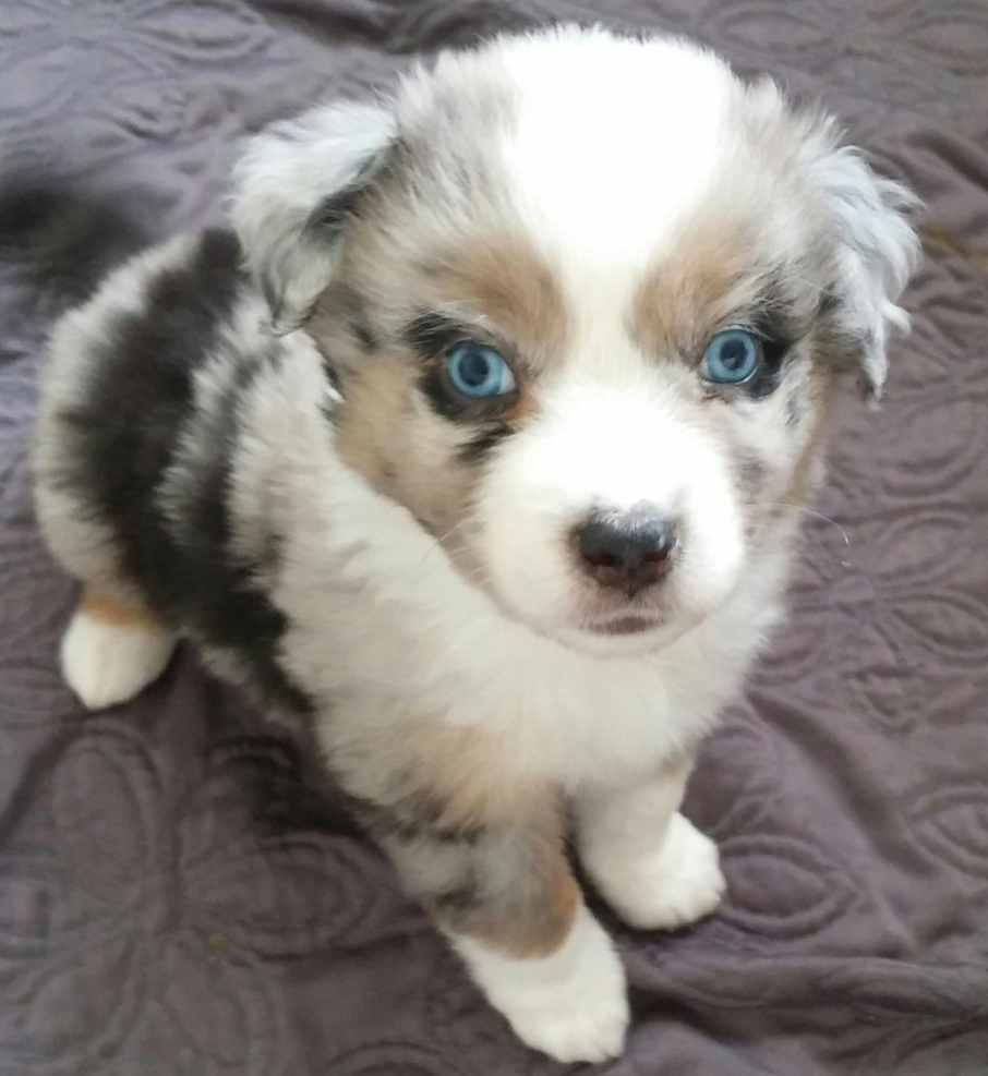 More-White-Blue-Merle - 6 Weeks Old