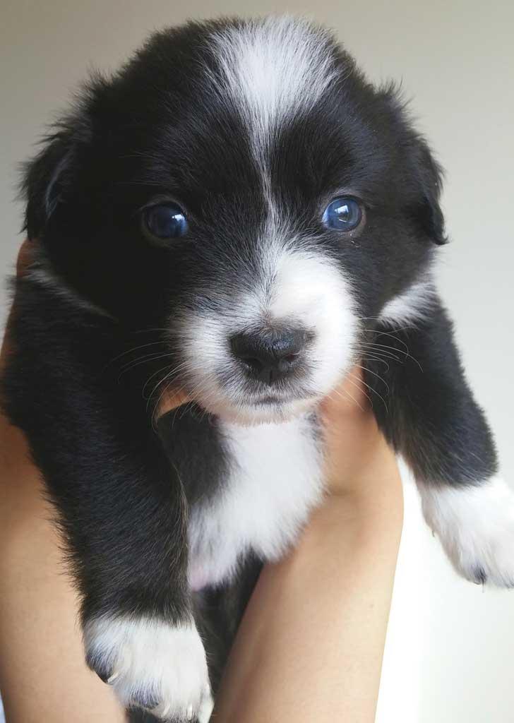 Australian Shepherd Puppies (pure bred mini's) | Kevin Frazier