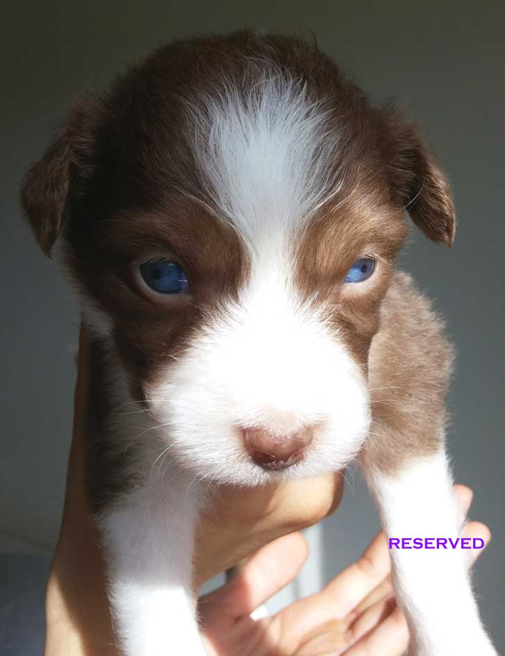 Red-Tri-2-Mini-Aussie - 4 weeks old