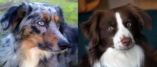 Tia (Blue Merle) Mom - Rocky (Red Tri) Dad