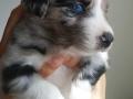 Blue-Merle-1 - 4 weeks old