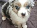 More-White-Blue-Merle - 6 Weeks Old